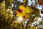 Autumn oak leaves in the woods — Stock Photo