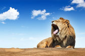 Roaring lion — Stock Photo
