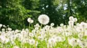 Wiese mit Pusteblumen — Stock Photo