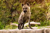 The spoted hyena. Crocuta crocuta — Stock Photo