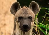 The portrait of spotted hyena. Crocuta crocuta — Stock Photo