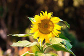 Wild Sunflower backlit by setting sun — Stock Photo