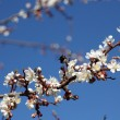 Blossoming of apricot tree flowers — Stock Photo #64008741