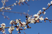 Blossoming of apricot tree flowers — Stock Photo