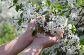 Cherry blossom in the palms — Stock Photo