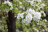 Pear tree in bloom — Stock Photo