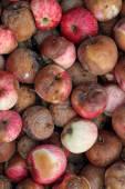 Rotten Apples — Stock Photo