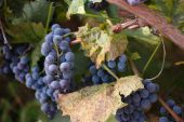 Red grapes with green leaves on the vine — Stock Photo