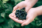 Black currants — Stock Photo