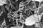 Unripe grapes (Black and White) — Stock Photo