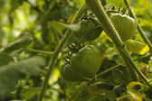 Green unripe tomatoes on a vine — Stock Photo