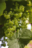 Unripe grapes — Stock Photo