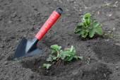 Strawberry Planting — Stock Photo