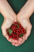 Harvested red currant berries in woman palms — Stock Photo