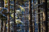 The sunbeams and snow on pine trees — Stock Photo