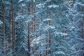Pine trees sleep — Stock Photo