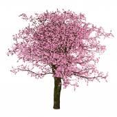 Sakura tree, cherry, isolated — Stock Photo