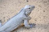 Closeup of iguana — Stock Photo