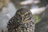 Portrait of owl — Stock Photo