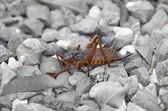 Grasshopper on the stones — Stock Photo