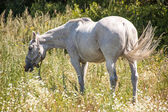 Gray horse  graze in the meadow — Stock Photo