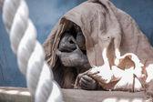 Hiding chimpanzee — Stock Photo
