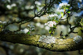 Horizontal colour image of pear tree in bloom — Stock Photo