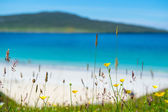 Close up of spring flowers with white sandy beach, turquoise water and an island in the background, Luskentyre, Isle of Harris, Hebrides, Scotland. — Stock Photo