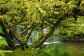 Tree covered in moss with waterfall in the background — Stock Photo