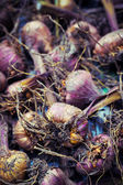 Gladiola bulbs ready for planting — Stock Photo