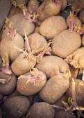 Sprouting organic potatoes ready for planting — Stock Photo