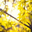 Blooming Forsythia, Spring background with yellow flowers tree branches — Stock Photo #74491679