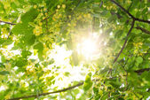 Blooming linden, lime tree in bloom with bees and sunflare — Stock Photo