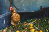 Hens feeding on home waste compost — Stock Photo