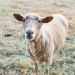 Curious sheep, funny domestic animal — Stock Photo #81380102