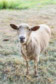 Curious sheep, funny domestic animal — Stock Photo
