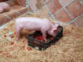 Pig and tomatoes — Stock Photo