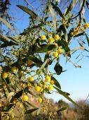 Acacia dealbata (Mimosa, Silver Wattle) — Stock Photo