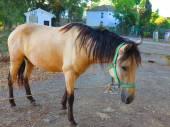 Tethered Horse — Stock Photo