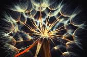 Beautiful Golden dandelion — Stock Photo