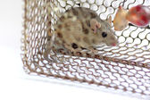 Rat trap in the cage. — Stock Photo