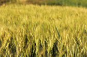 Blur yellow Barley field  — Stock Photo