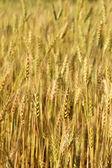 Blur Barley field grain growth  — Stock Photo