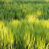 Blur Green Barley field — Zdjęcie stockowe