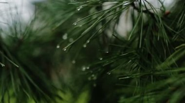 Branch of a coniferous tree with raindrops — Stock Video