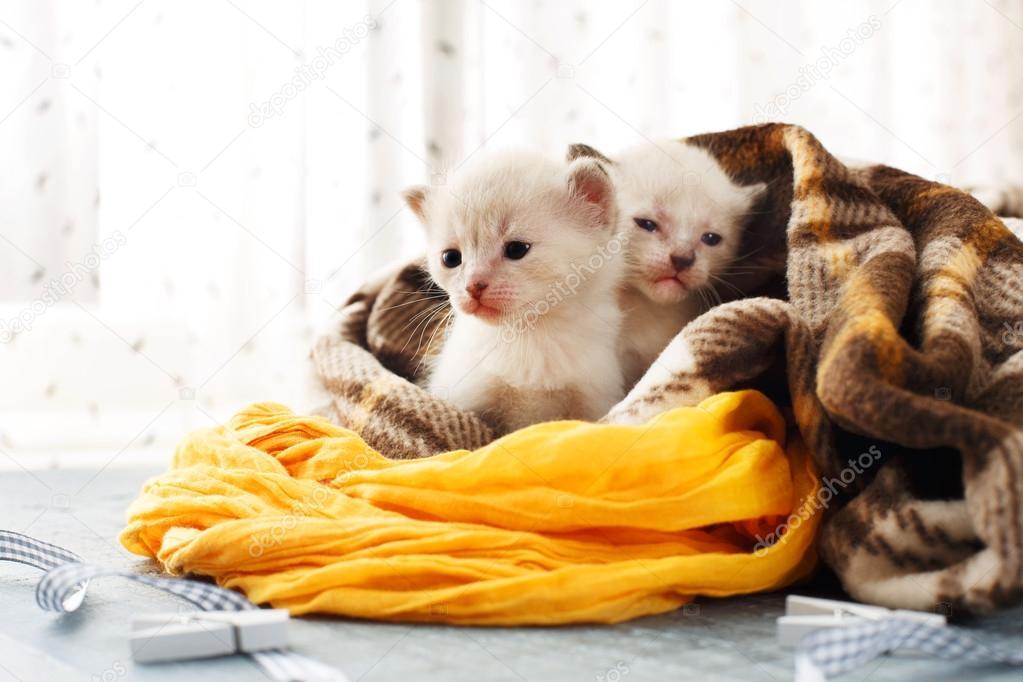 Gattini appena nati bianco in una coperta plaid foto for Piccoli piani di coperta