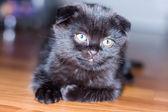 Black scottish kitten — Stock Photo