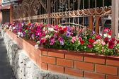 Petunia flowers in pots outside windows — Stock Photo