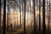 Sunrise in forest — Stock Photo