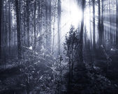 Sunrise in forest in black and white — Stock Photo